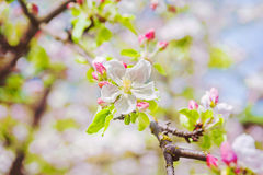 Blossoming flowers of appletree on blurred background instagram Stock Photo