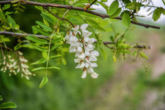 Blossoming flowers of black locust (Robinia pseudoacacia) hanging on tree branch in springtime Royalty Free Stock Photo