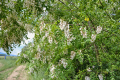 Blossoming flowers of black locust (Robinia pseudoacacia) hanging on tree branch in springtime Stock Photography
