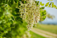 Blossoming flowers of black locust (Robinia pseudoacacia) hanging on tree branch in springtime Royalty Free Stock Photos