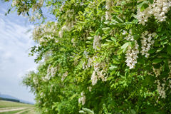 Blossoming flowers of black locust (Robinia pseudoacacia) hanging on tree branch in springtime Stock Image