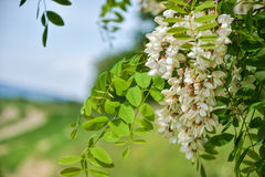 Blossoming flowers of black locust (Robinia pseudoacacia) hanging on tree branch in springtime Stock Images