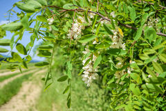 Blossoming flowers of black locust (Robinia pseudoacacia) hanging on tree branch in springtime Stock Photo