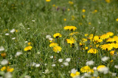 The blossoming flowers of dandelions Royalty Free Stock Images