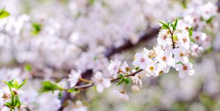 Blossoming flowers of fruit apricot trees with selective focus and shallow depth of field. Artistic toning Stock Photography