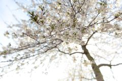 White blossoming flowers in springtime royalty free stock photos