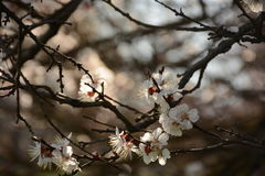 Blossoming flowers on tree branches in spring on a dark background Royalty Free Stock Photos