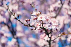 Blossoming flowers tree in park at early spring seson Royalty Free Stock Images