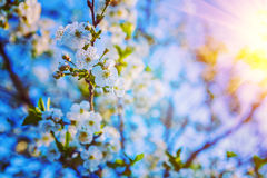 Blossoming flowers on twig of cherri tree floral Royalty Free Stock Photos