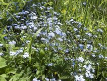 Blossoming forget-me-nots or scorpion grasses Myosotis in the field.  Royalty Free Stock Image
