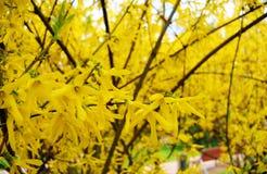 Blossoming forsythia весной, желтеет предпосылку Стоковое Изображение RF