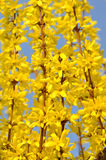 blossoming forsythia Стоковое Изображение