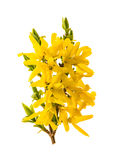 Blossoming forsythia. Spring flowers isolated on white Stock Photos