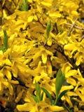 Blossoming forzition European Forsythia europaea Royalty Free Stock Photo