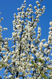 The blossoming fruit tree against the sky, the blue sky Stock Photography