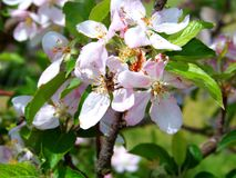 Blossoming fruit tree with the bees working inside stock image