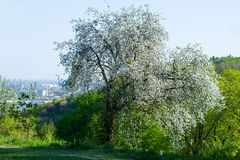 Blossoming fruit tree in a garden. Royalty Free Stock Photography