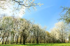 Blossoming fruit tree orchard in spring arboretum Royalty Free Stock Photo