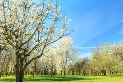 Blossoming fruit tree orchard in spring arboretum Royalty Free Stock Images