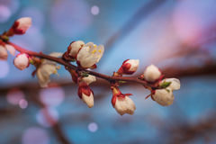 Blossoming of fruit tree during spring. View close-up of branch with white flowers and buds in bright colors. Stock Photo