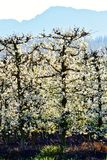 Blossoming fruit trees Stock Image