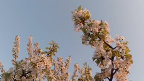 Blossoming fruit trees, cherry trees and flying bees around the flowers, the moon through the cherry flowers. On the background of blue sky, white, or varying stock video footage