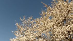 Blossoming fruit trees, cherry trees and flying bees around the flowers, the sun through the cherry flowers. On the background of blue sky, white, or varying stock footage