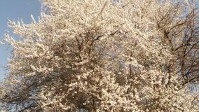 Blossoming fruit trees, cherry trees and flying bees around the flowers, the sun through the cherry flowers stock video footage