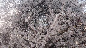 Blossoming fruit trees, cherry trees and flying bees around the flowers, the sun through the cherry flowers stock footage