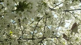 Blossoming fruit trees, cherry trees and flying bees around the flowers, the sun through the cherry flowers stock video