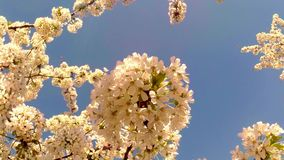 Blossoming fruit trees, cherry trees and flying bees around the flowers, the sun through the cherry flowers. On the background of blue sky, white, or varying stock video footage