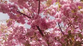 Blossoming fruit trees, cherry trees and flying bees around the flowers, the sun through the cherry flowers. On the background of blue sky, white, or varying stock video