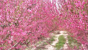 Blossoming of fruit trees in Cieza. Spain. Orchards in bloom. Blossoming of fruit trees in Cieza in the Murcia region. Spain royalty free stock photo
