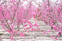 Blossoming of fruit trees in Cieza. Spain. Orchards in bloom. Blossoming of fruit trees in Cieza in the Murcia region. Spain stock image