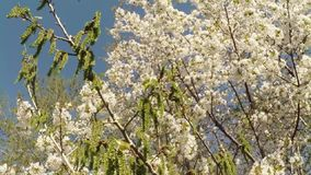 Blossoming fruit trees and flowers birch. On the background of blue sky, white, or varying shades of the rainbow, in white, yellow, lilac, violet, red beautiful stock footage