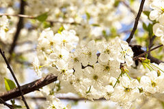 The blossoming fruit-trees Royalty Free Stock Photography