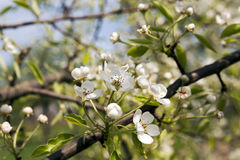 The blossoming fruit-trees Royalty Free Stock Photo