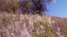 Blossoming fruit trees, pear trees and flying bees around the flowers, the sun through the cherry flowers. On the background of blue sky, white, or varying stock footage