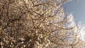Blossoming fruit trees, pear trees and flying bees around the flowers, the sun through the cherry flowers stock video footage