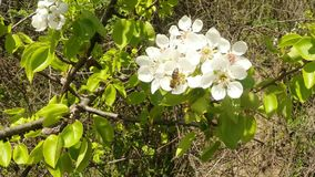 Blossoming fruit trees, pear trees and flying bees around the flowers, the sun through the cherry flowers stock video