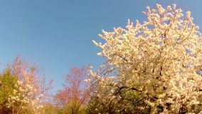 Blossoming fruit trees, pear trees and flying bees around the flowers, the sun through the cherry flowers stock footage