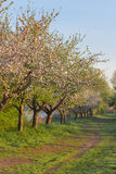 Blossoming fruit trees Royalty Free Stock Photo