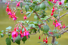 The blossoming fuchsia (Fuchsia L.). Branch with flowers Royalty Free Stock Image