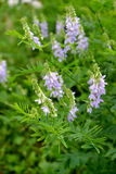 The blossoming a galega a medicinal (goat rue) (Galega officinal. Is L.). Herb Stock Photography