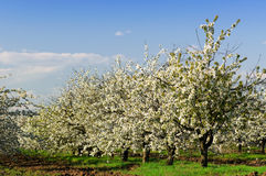 Blossoming Garden Stock Images