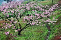 Blossoming garden of peach trees Stock Image