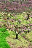 Blossoming garden of peach trees Royalty Free Stock Images