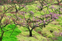 Blossoming garden of peach trees Royalty Free Stock Photography