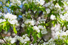 Blossoming garden with pear trees Royalty Free Stock Photo