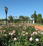 Blossoming garden of roses in Buenos Aires. Argentina. Royalty Free Stock Photo